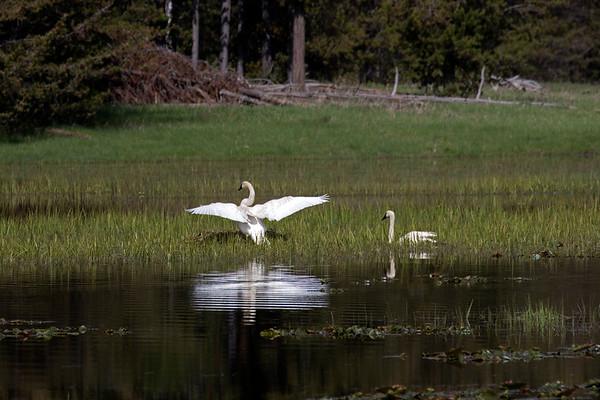 Trumpeter Swans on Swan Lake, Idaho