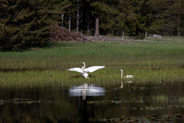 Trumpeter Swans and nest