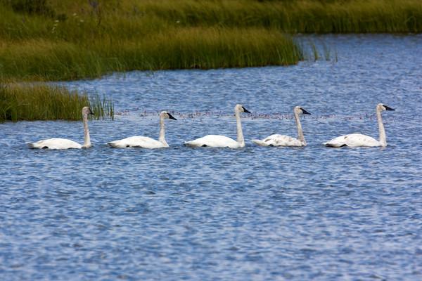 Trumpeter Swans in Culver Pond, Red Rock Lands National Wildlife Refuge, July 29, 2009 Montana
