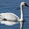 Trumpeter Swan in Henry's Lake