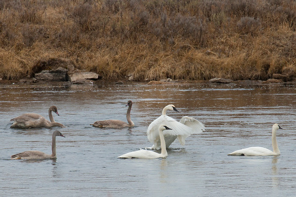 Trumpeter Swans and Cygnets (in late fall)