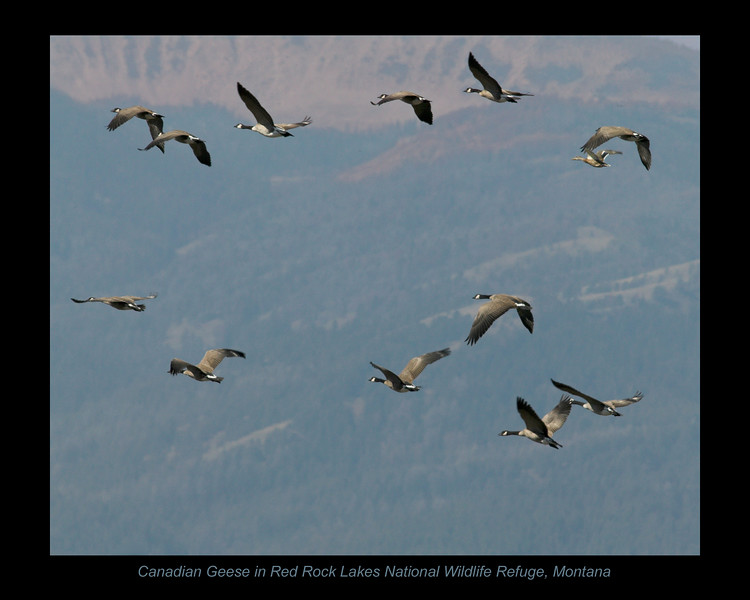 Canadian Geese flying over pond at Red Rock Lakes National Wildlife Refuge in Montana, Sep 2007.