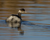 Eared Grebe at Sacramento National Wildlife Refuge, Jan 13, 2012.