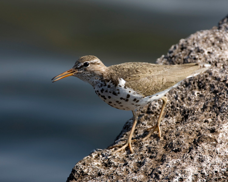 Spotted Sandpiper (Actitis macularia) at Island Park Idaho Reservoir July 7, 2008
