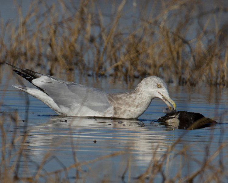 Herring Gull at Sacramento National Wildlife Refuge, Jan 13, 2012. It has a dead bird in the water it is trying to pluck feathers from presumably to eat it.