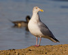 Herring Gull at Sacramento National Wildlife Refuge, Jan 13, 2012.