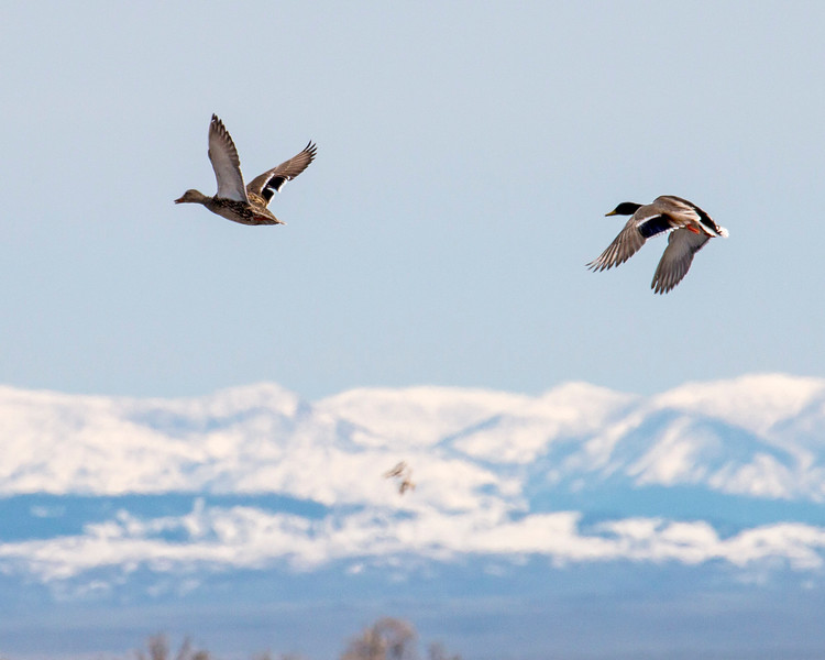Mallards flying