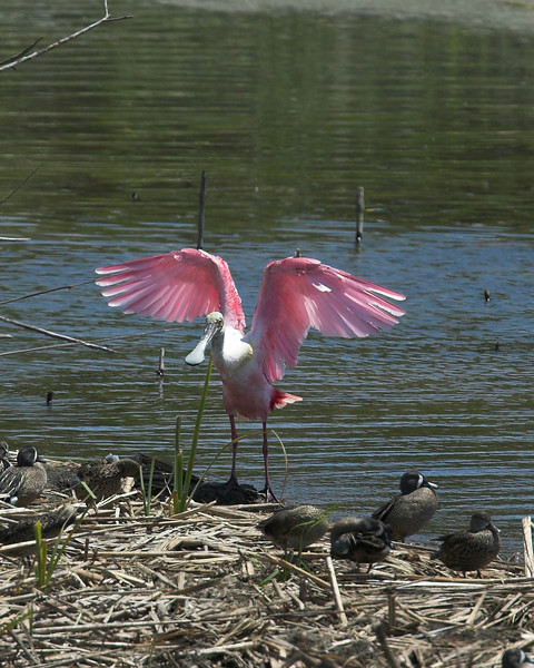 Roseate Spoonbill at Port Aransas, Texas. April 2007
