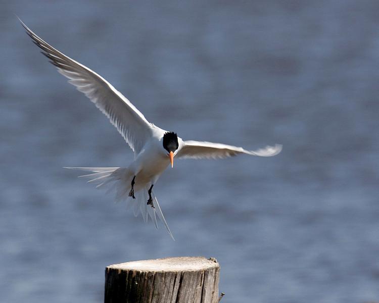 Royal Tern along Pamlico River in eastern North Carolina. April 23, 2009 Landing.