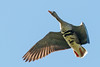 White-fronted Goose flying