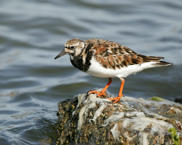 Ruddy Turnstone, Rockport, Texas 2006