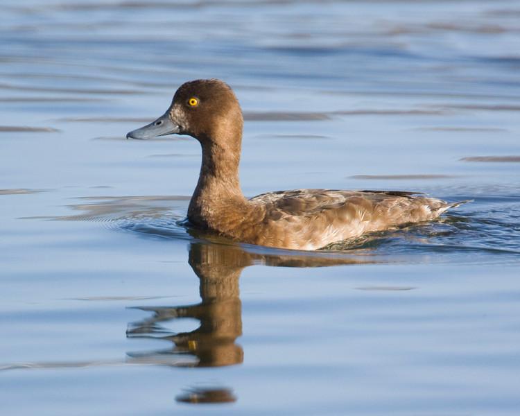Lesser Scaup (female), May 27, 2009.. Henry's Lake, Idaho