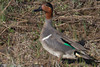 Green-winged Teal in Centennial Valley, Montana. May 14, 2012