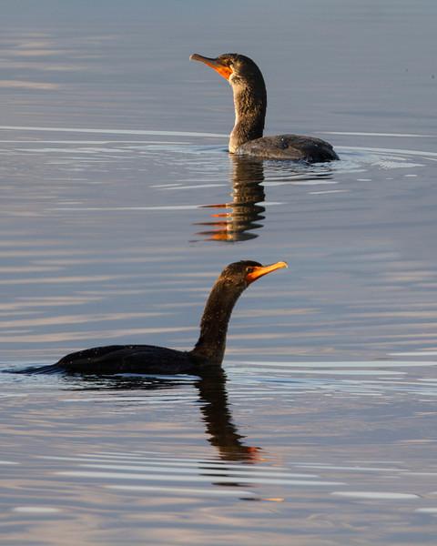 Cormorants at Widgeon Pond, at Rock Lakes National Wildlife Refuge, Montana. August 21, 2013