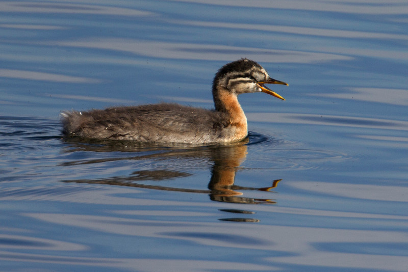 Red-necked Grebe juvenile on Henry's Lake. Sep 9, 2012