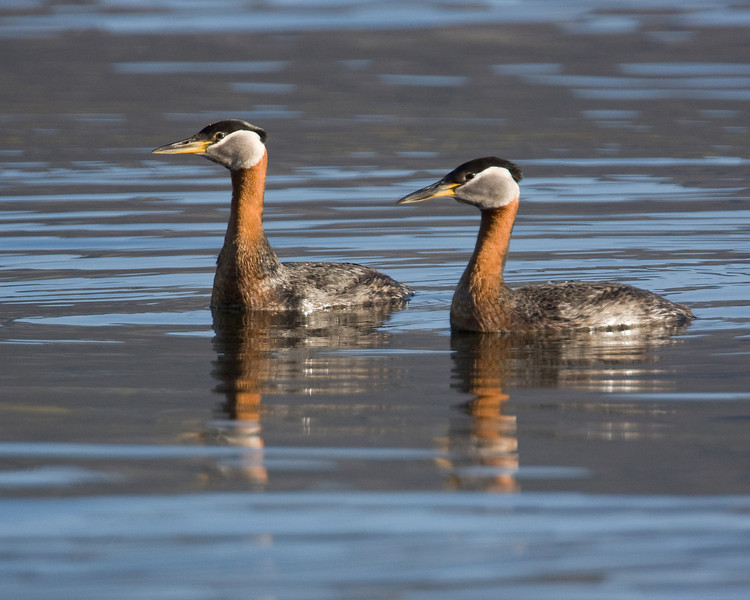 Red-necked Grebe's at Henry's Lake, May 29, 2009