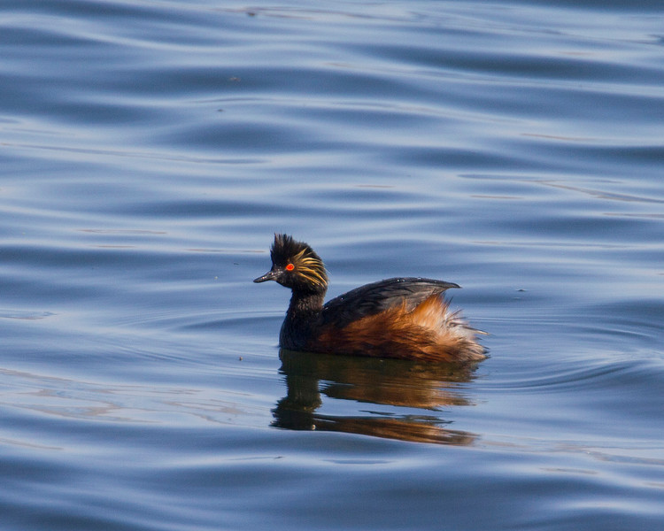 Eared Grebe, Henry's Lake Idaho