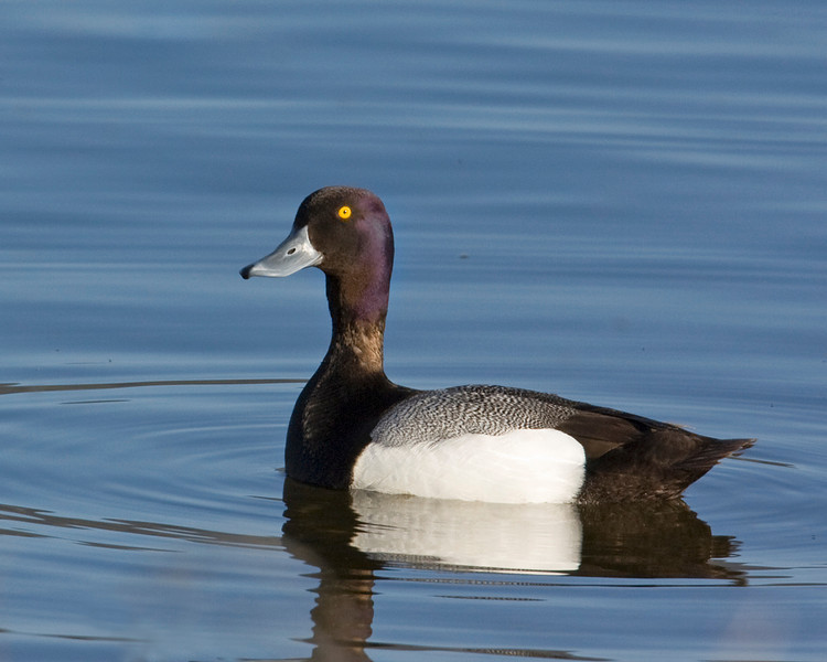 Lesser Scaup. Notice the purple head sheen. Henry's Lake May 29, 2009