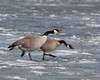 These two Canada Geese are attacking two others on the ice on Henry's Lake Idaho in May, 2011.