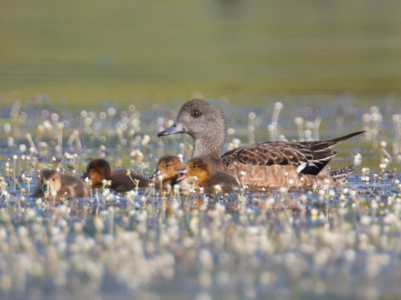 Widgeon and ducklings at Hope Creek and Henry's Lake. July 10, 2012