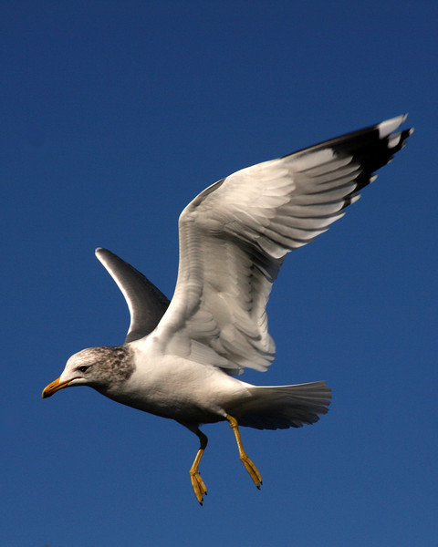 Gull flying.