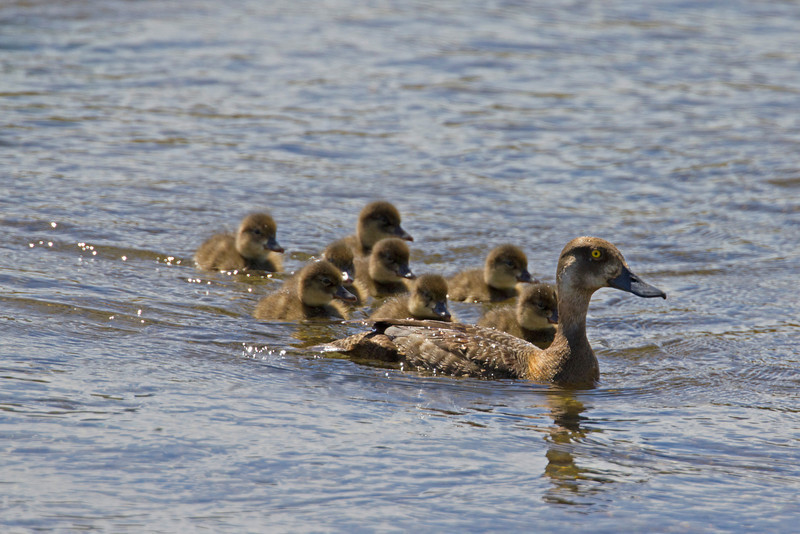 Mom and chicks in Elk Creek Springs. Aug 21, 2011. Red Rock Lakes Nat'l Wildlife Refuge. Montana