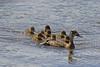 Mom and chicks in Elk Creek Springs. Aug 21, 2011. Red Rock Lakes Nat'l Wildlife Refuge. Montana