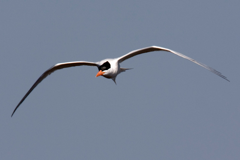 Royal Tern flying near Washington, North Carolina on the Pamlich River. April 23, 2009