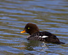 Barrow's Goldeneye