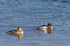 Common Mergansers on Henry's Lake