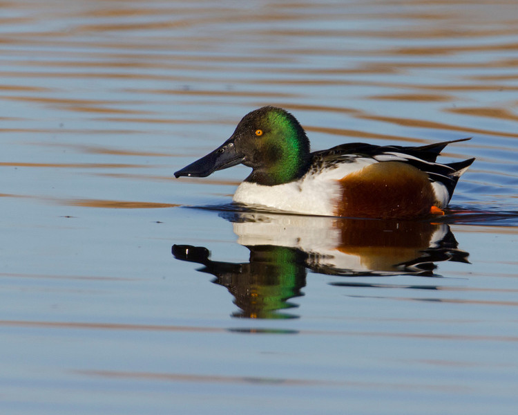 Northern Shoveler Duck (male) at Sacramento National Wildlife Refuge. Jan 13, 2012.