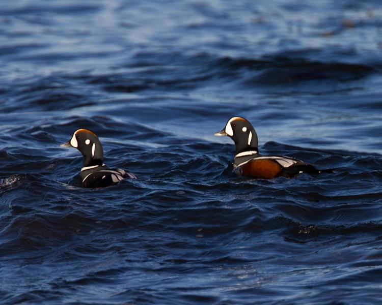Harlequin Ducks, male