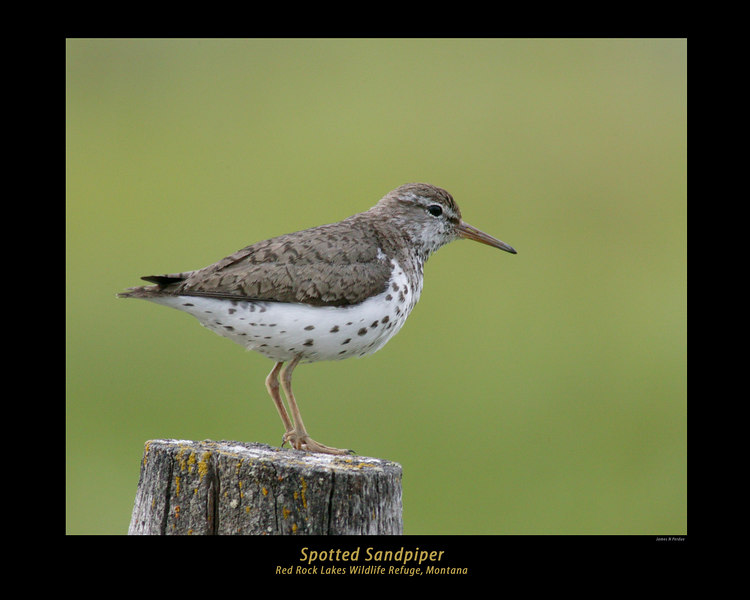 Spotted Sandpiper in Red Rock Lakes Wildlife Refuge, Montana