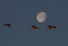 White-fronted Geese with Moon at sunrise