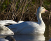 Snow Goose at Sacramento National Wildlife Refuge, Jan 13, 2012.