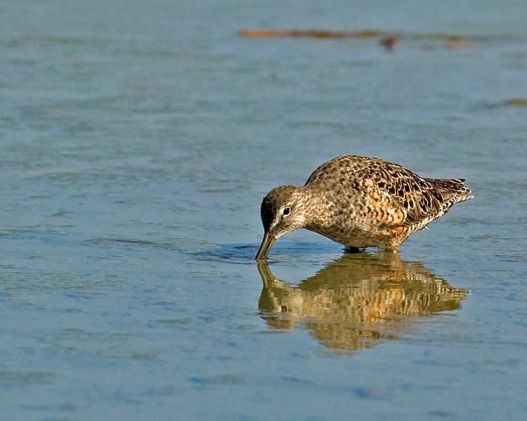 Unknown Sandpiper, Port Aransas, TX Apr 2007