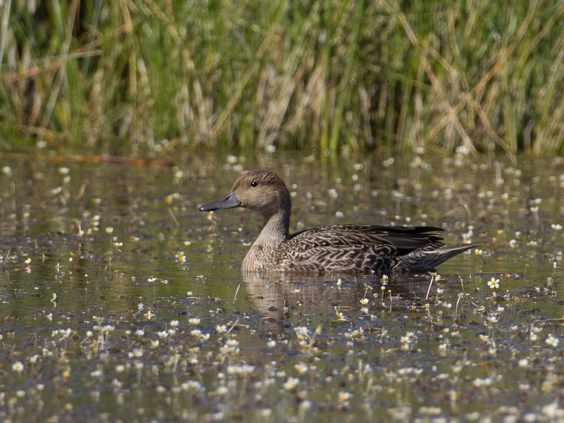 Northern Pintail duck in Red Rock Lakes National Wildlife Refuge. August 18, 2010.