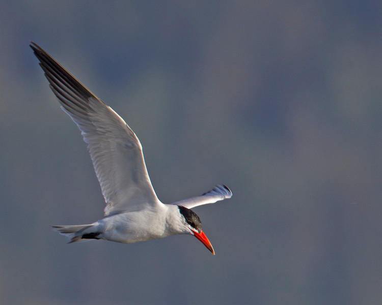 Caspian Tern flying over Henry's Lake. August 2013