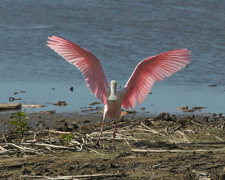 Roseate Spoonbill shows his beautiful pink wings and his grey spoon bill at Port Aransas tidal flat in Texas. April 2007