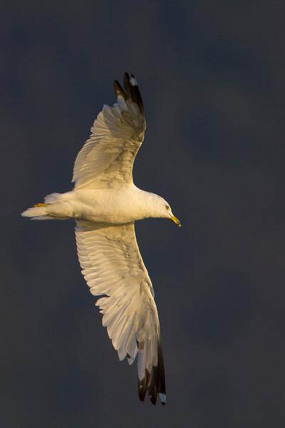 Gull flying over Henry's Lake.