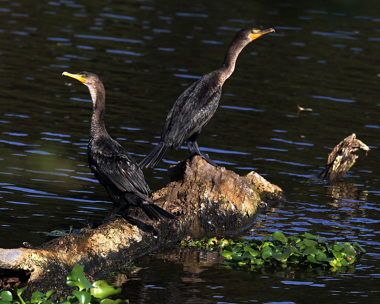 Pair of Double-crested Cormorants (Phalacrocorax auritus) sitting on a log in the canal along the Levee's in the Sacramento Delta. Dec 11, 2012.