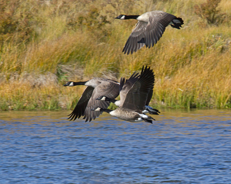 Flying Canada Geese over Culver Pond in Red Rock Lakes National Wildlife Refuge, Montana Sep 2010.