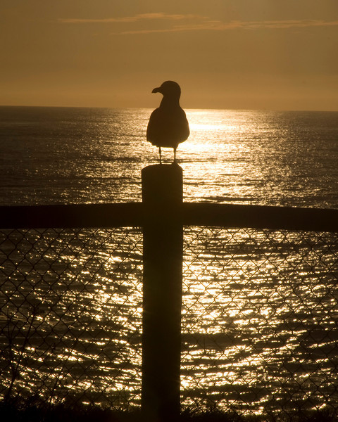 Gull along Oregon coast at Sunset in Silhouette. Nov 2, 2009