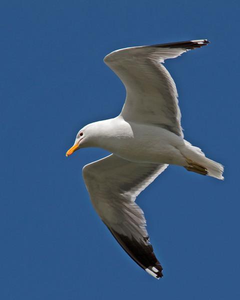 California Gull over Henry's Lake, Idaho. May 31, 2013