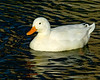 White Mallard duck (swimming along with the normal colored Mallards) at Wilderness Lakes RV Park near Menifee, CA. Jan 2008
