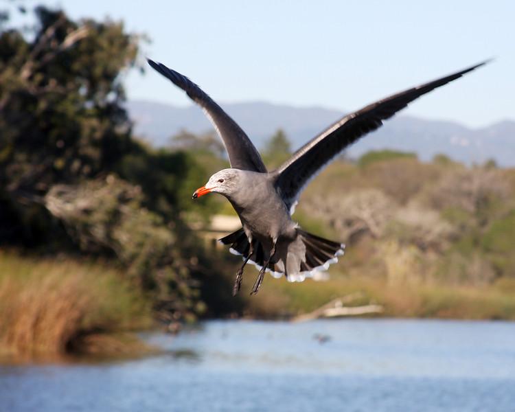 Gull hovering in Santa Cruz, California. November 2007