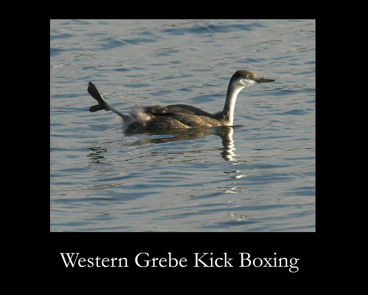 This Western Grebe at Island Park Reservoir (Idaho) is stretching his foot, or maybe practicing his kick-boxing?