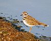 Juvenile Killdeer at Henry's Lake, Idaho