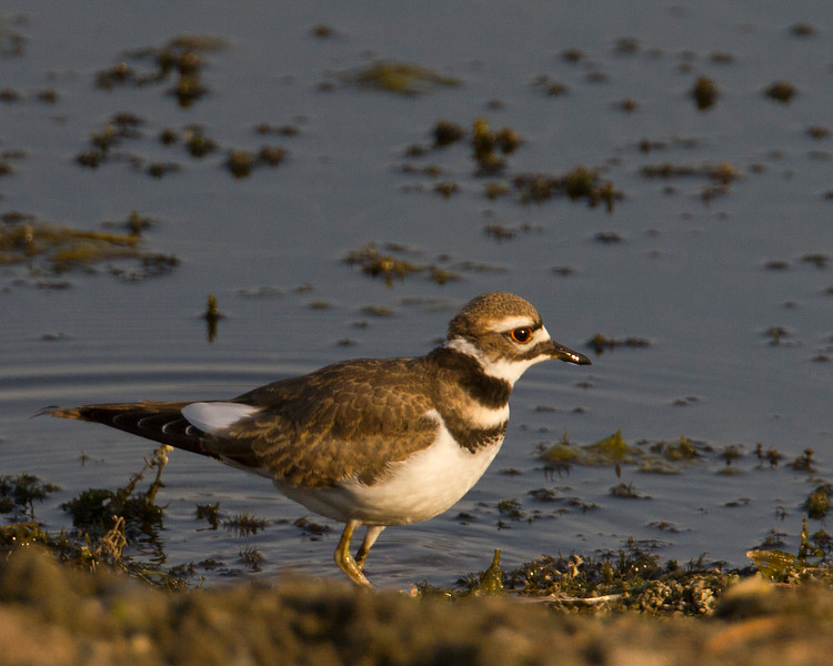Killdeer at Henry's Lake southshore, near Hope Creek.