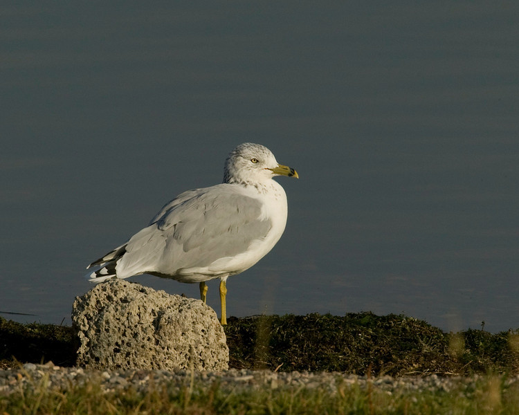 Ring-billed Gull, Henry's Lake, Idaho 2006